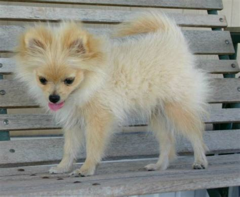 pomeranian puppy uglies doggies puppy 6 cool pomeranian puppy uglies