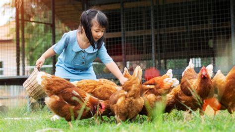 galline ovaiole alimentazione alimentare i polli ruspanti e le galline ovaiole