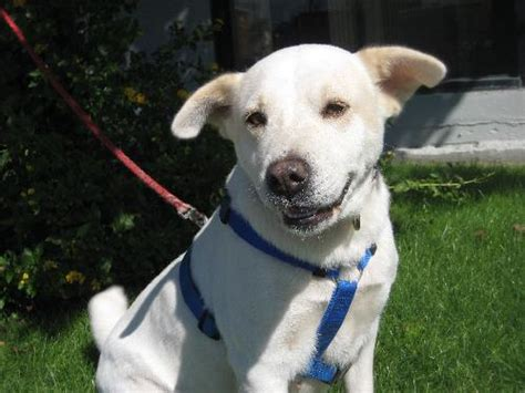 lab terrier mix puppy wimberly labrador retriever humane society of dallas county