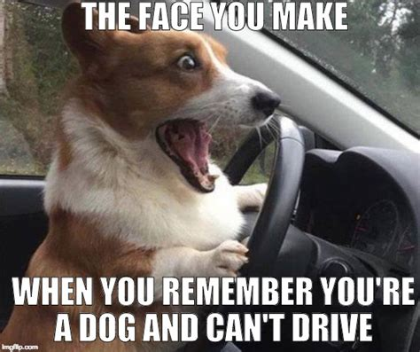 Dog Driving Meme - if a dog identifies as a human should it be allowed to