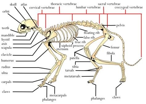 labeled cat skeleton diagram canine vertebral formula images animal s