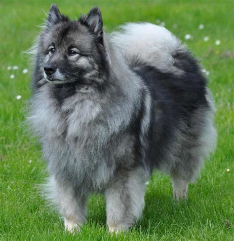 keeshond dogs keeshond breed information and images k9 research
