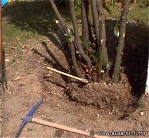 Quand Planter Un Noisetier by Arracher Un Vieil Arbuste