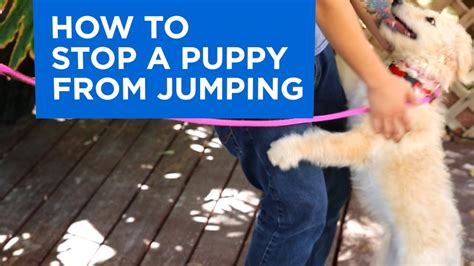 Stop From Jumping On by How To Your Puppy To Stop Jumping