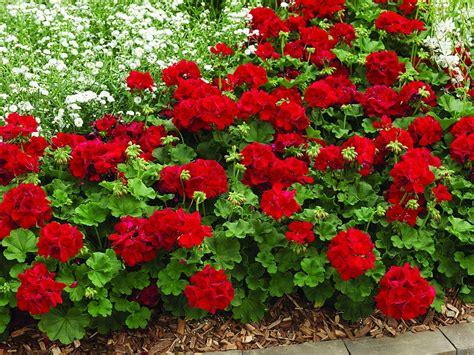 Geranium by Geranium Calliope Dark Red Garden Housecalls