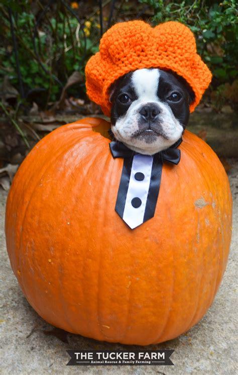 pumpkin and dogs 18 amazing handmade pet costumes pumpkin guff