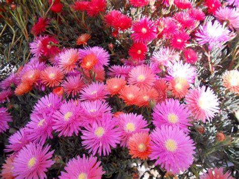 fiori tappezzanti la finestra di stefania mesembriantemo tappezzanti