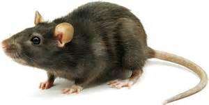 mouse images mice rat pest canberra canberra pest