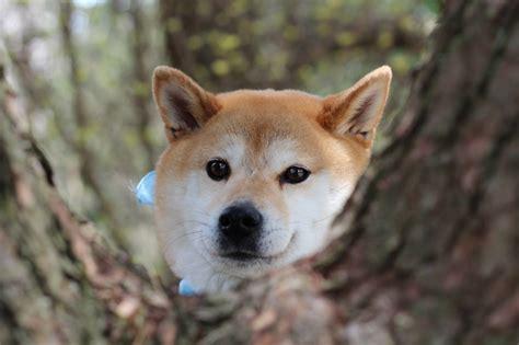 shikoku puppies for sale 708 best akita s shiba inu s shikoku s images on shiba inu akita and doge