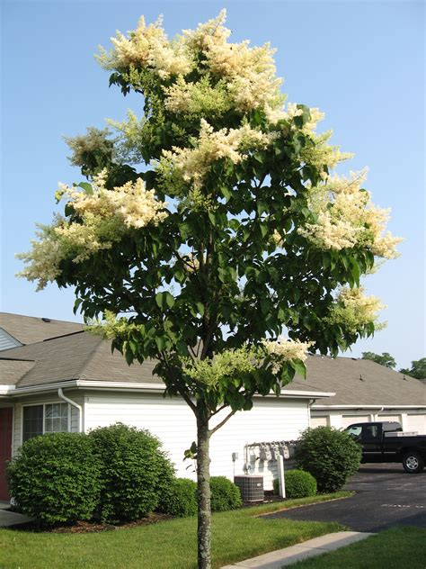 lilac tree japanese lilac tree www imgkid the image kid has it