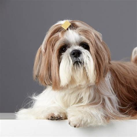 shih tzu hair types 5 types of haircuts for a shih tzu