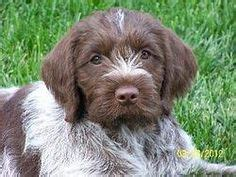 wirehaired pointing griffon puppies for sale 1000 ideas about wirehaired pointing griffon on german wirehaired pointer