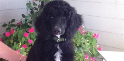 standard poodle puppies for sale florida standard poodle puppies for sale pensacola fl photo
