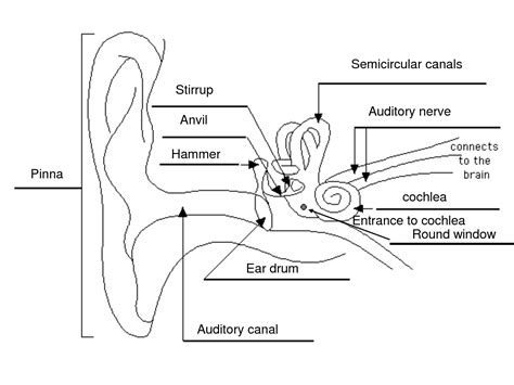 labelled diagram of e labelled diagram of the ear science sound