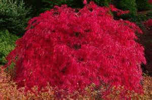 acer palmatum red dragon cdjb