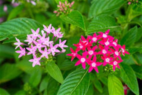 imagenes de flores egipcias flores eg 237 pcias cor de rosa do conjunto de estrela foto de