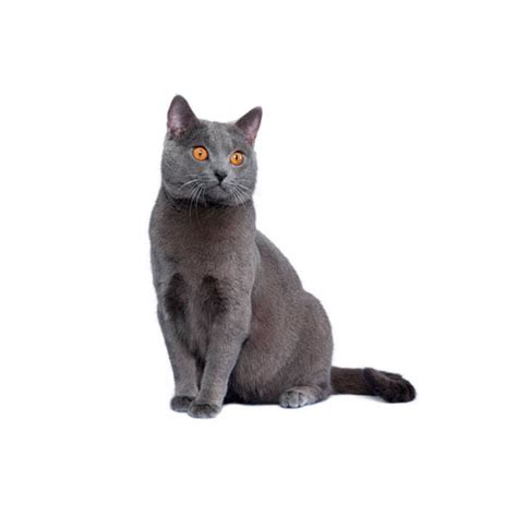 cat breed chartreux cat breed purina 174