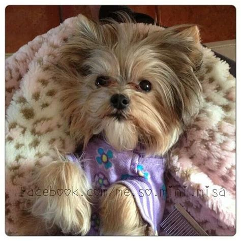minnie yorkie 57 best images about misa mini yorkie on you much yorkie and 10