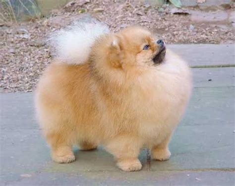 where did the pomeranian originate boo the pomeranian world s cutest puppy 176 176