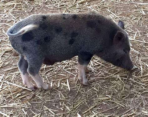 tnt farms mini livestock pets juliana pigs nigerian