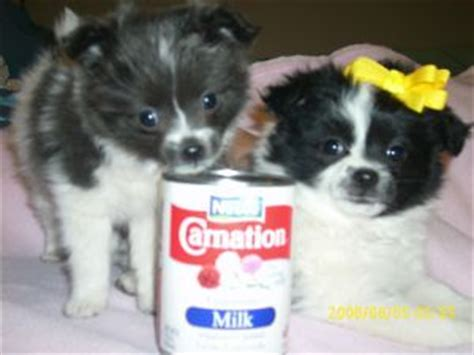 munchkin puppies breeds 40 lbs and breeds picture
