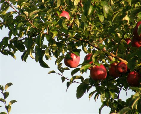 facts about apple trees garden guides