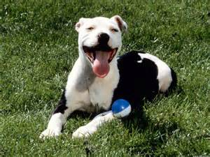 American Pit Bull Terrier. - The Bully Breeds