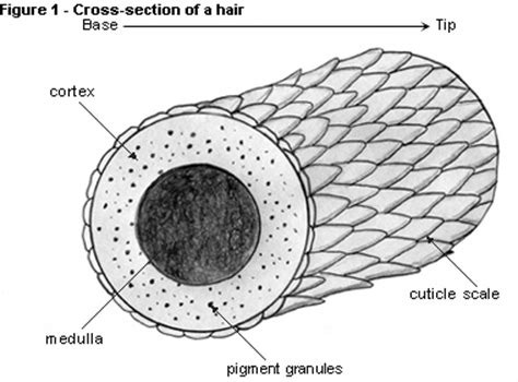 cross section of hair royalty luxury hair products may 2012