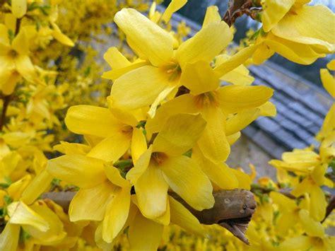 sträucher gelb bl 252 hende str 228 ucher australien reisebericht fahrt