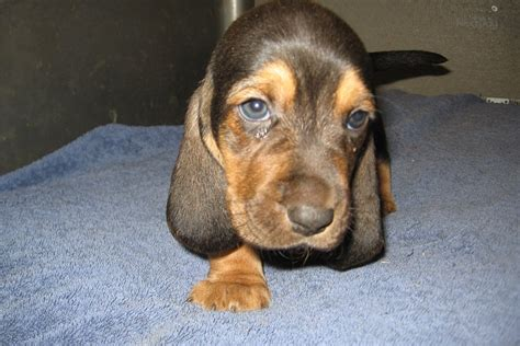 basset hound puppies for sale in ohio basset hound for sale for 550 near cincinnati ohio 8e56cc4e de61