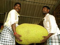 jackfruit information from the farm science centre of icar