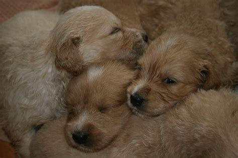 mini doodle puppies toronto rescue related keywords suggestions mini goldendoodle