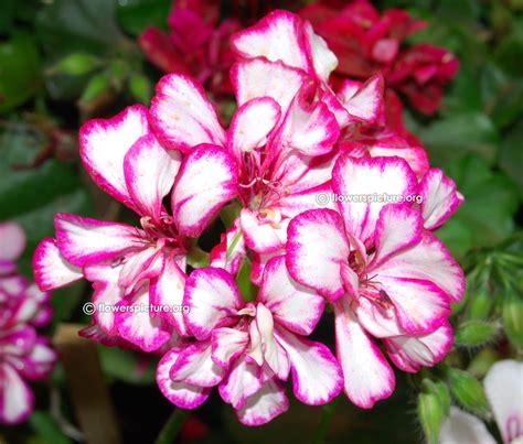 geranium varieties pelargonium zonale varieties