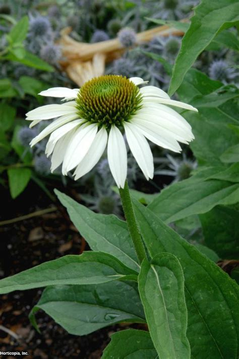 varieties of coneflowers hgtv