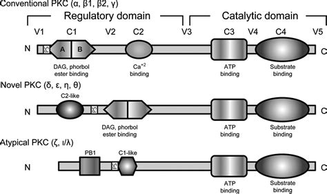 protein activation activation of protein kinase c isoforms and its impact on