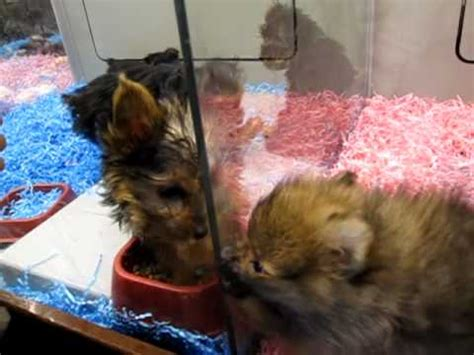 puppies at petsmart morkie puppies in petsmart doovi