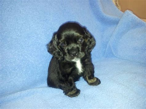 cocker spaniel puppies wi cocker spaniels wisconsin akc puppies for sale fort atkinson