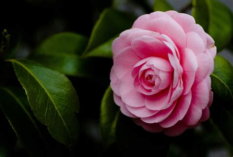imagenes de flores japonesas romantic flowers camellia flower