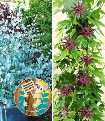 Eukalyptus Pflanze Kaufen 97 by Passionsblume Preisvergleich Die Besten Angebote