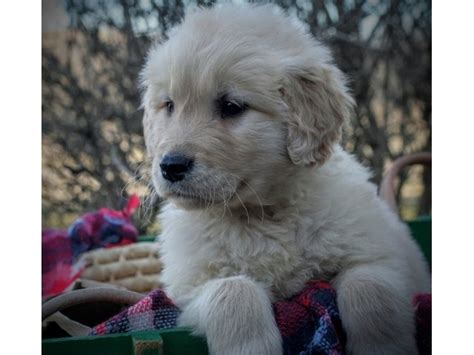 golden retriever puppies in alabama golden retriever puppies for sale alabama photo