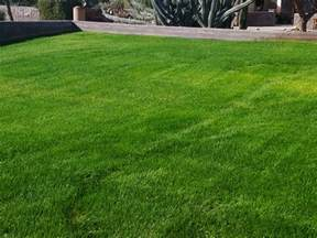common perennial rye grass family poaceae origin europe