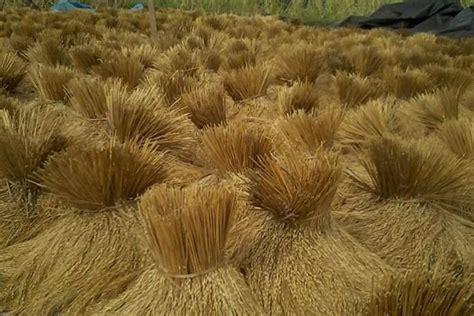 Gabah Padi Beras Merah beras merah cendana segera miliki spesies baru balipost