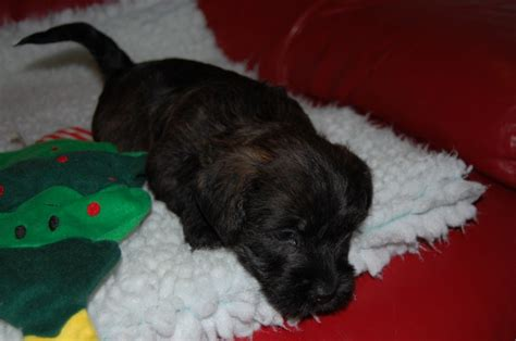 glen of imaal terrier puppies for sale beautiful blue brindle glen of imaal terrier blackpool lancashire pets4homes
