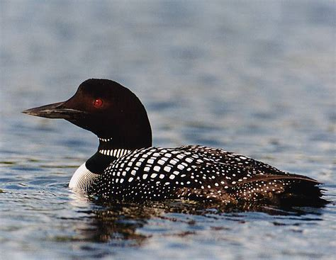 national geographics the common loon pictures