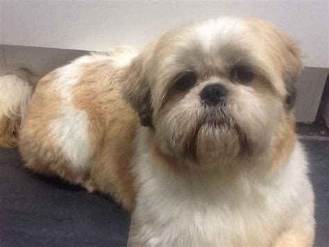 white and gold shih tzu 18 month shih tzu gold white durham county durham pets4homes