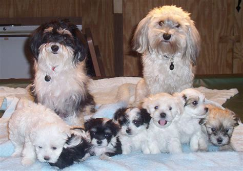havanese puppy havanese puppies rescue pictures information temperament characteristics