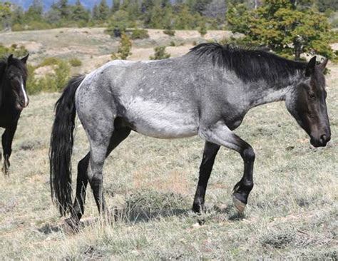 pictures mustang horse with smoke wild mustangs interesting color on this horse looks