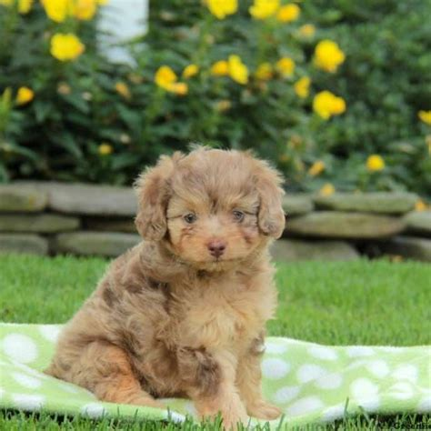 mini aussiedoodle miniature aussiedoodle puppies for sale greenfield puppies