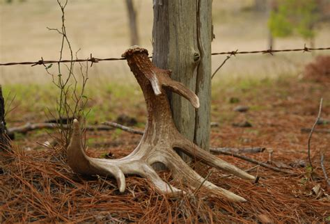 Whitetail Deer Sheds by Seeking The Crown The Hunt For Shed Antlers Deer Deer