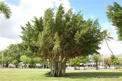 tree australian cairns australian trees